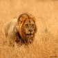 Tapeta ścienna lew w rezerwach sabi piaski, republika południowej afryki