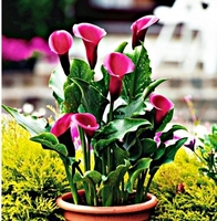 Zantedeschia kalla rose queen – 1 szt.