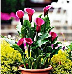Zantedeschia kalla rose queen – 1 szt.