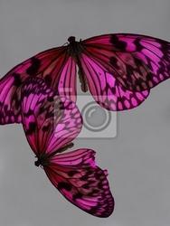Fototapeta pink butterfly martwa natura