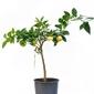Limetta pursha drzewko