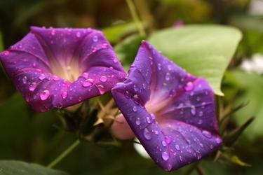 Fototapeta kwiat 334