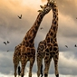 Zakochane żyrafy - plakat