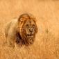 Naklejka samoprzylepna lew w rezerwach sabi piaski, republika południowej afryki