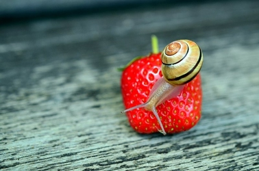 Fototapeta ślimak na truskawce fp 902