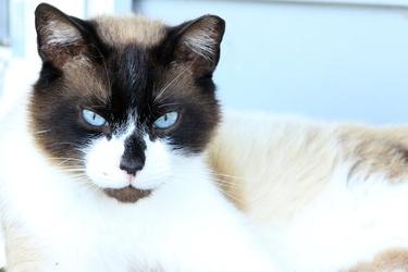 Fototapeta czarno biały kot fp 2536