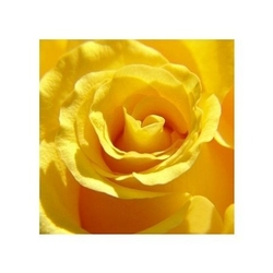 Róża - reprodukcja