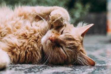Fototapeta na ścianę odpoczywający rudy kot fp 4666