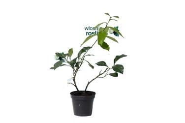 Cytryna lunario krzew