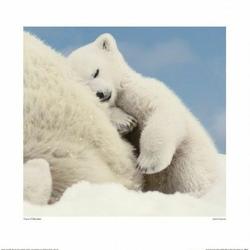 Niedźwiedzie polarne - reprodukcja