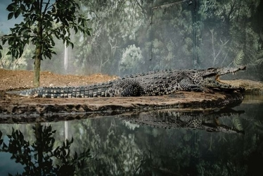 Aligator - plakat