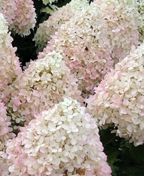 Tradycyjna hortensja magical sweet summer