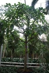 Ficus alitissima