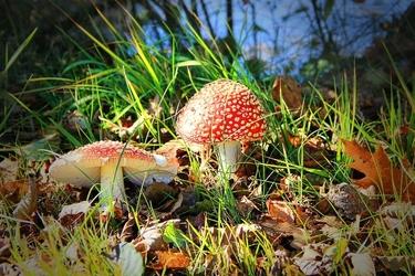 Fototapeta czerwone nakrapiane muchomory w trawie fp 810