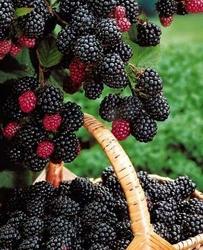 Malina czarna black jewel bardzo smaczna