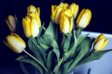 Fototapeta żółte przymglone tulipany fp 696