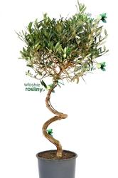 Oliwka europejska drzewo spirala