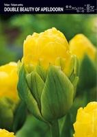 Tulipan pełny double beauty of apeldoorn – 20 szt.
