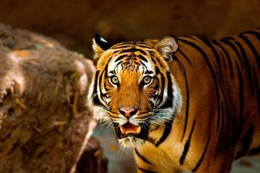Fototapeta tygrys pokazujacy zęby fp 2834