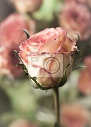 Fototapeta piękna róża