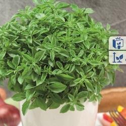 Bazylia drobnolistna – aromatyczna – kiepenkerl