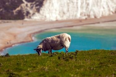 Fototapeta owca na tle morza fp 2570