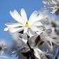 Fototapeta gałąź magnoli z kwiatami fp 562