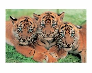 Tiger Cubs - reprodukcja
