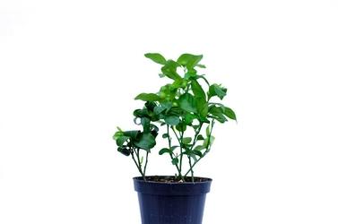 Limetta pursha krzew