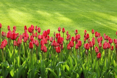 Fototapeta kwiat, tulipany 307