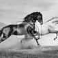 Obraz horses run
