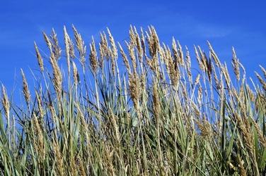 Fototapeta trawy na tle błękitnego nieba fp 563