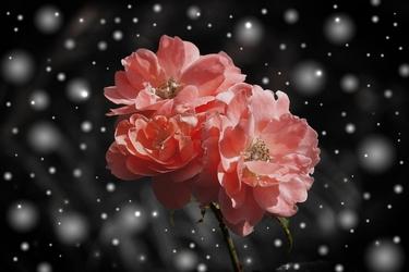 Przekwitające róże  - plakat wymiar do wyboru: 84,1x59,4 cm