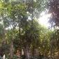 Ficus alii  figowiec