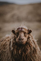 Owca - plakat