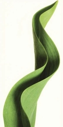 Tulipan, Liść tulipana - reprodukcja