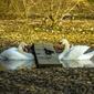 Fototapeta dwa łabędzie oddzielone kładką fp 2522
