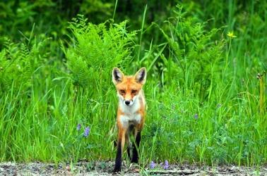 Fototapeta lis wychodzący z zarośli fp 2903