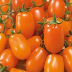 Pomidor nugget f1 – cherry – kiepenkerl