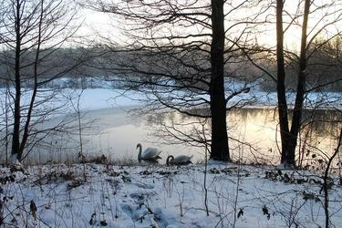 Fototapeta łabędzie na jeziorze fp 1668