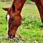 Fototapeta koń skubiący trawę fp 2978
