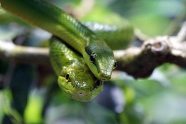 Fototapeta para zielonych węży fp 2549