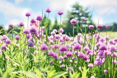 Fototapeta kwiat, kwiaty polne 364