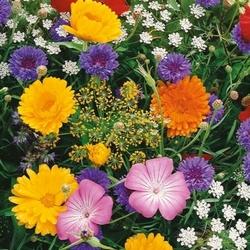 Kwiaty polne z ziołami – łąka kwietna – kiepenkerl