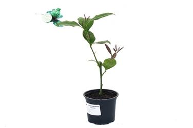 Cytryna carrubaro sadzonka