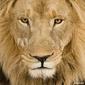 Obraz na płótnie canvas dwuczęściowy dyptyk zbliżenie na głowę lwa 4 i pół roku - panthera leo