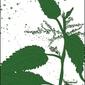 Pokrzywa - plakat wymiar do wyboru: 60x80 cm