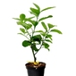 Cedro maxima krzew