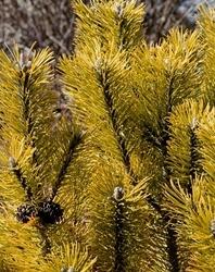 Sosna pospolita aurea złoty kolor szczepiona p14