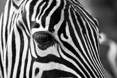 Czarno - białe paski - zebra - plakat wymiar do wyboru: 40x30 cm